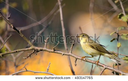 Willow Warbler coloring #4, Download drawings