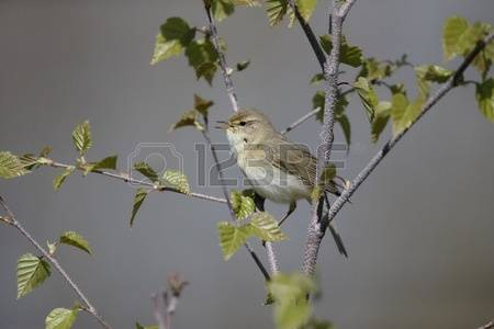 Willow Warbler coloring #12, Download drawings