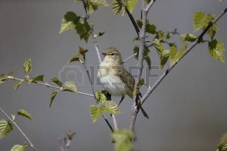 Willow Warbler coloring #9, Download drawings