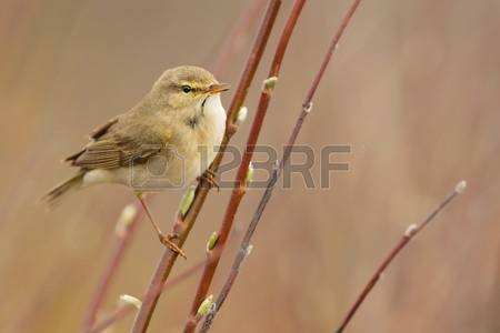 Willow Warbler coloring #7, Download drawings
