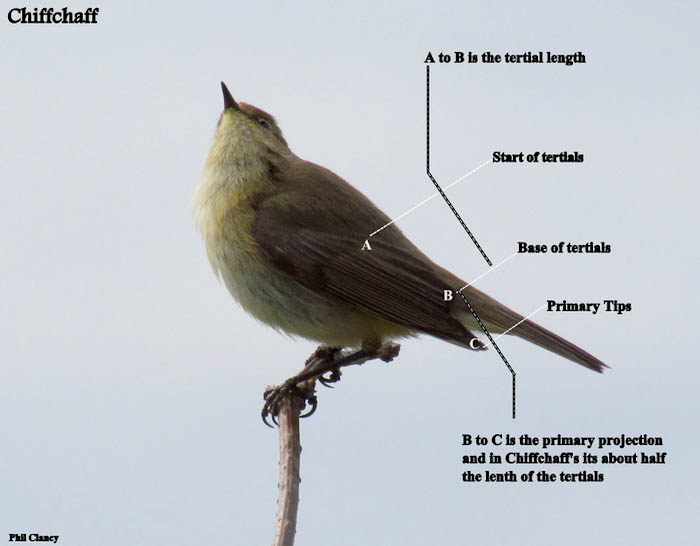 Willow Warbler coloring #1, Download drawings