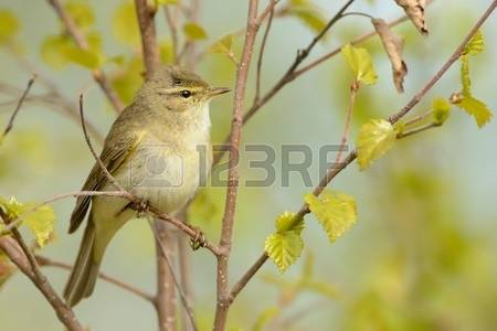 Willow Warbler coloring #18, Download drawings