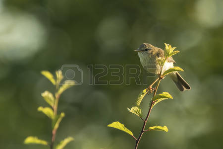Willow Warbler coloring #19, Download drawings