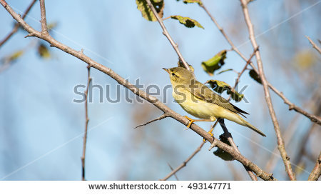 Willow Warbler coloring #10, Download drawings