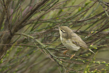 Willow Warbler coloring #16, Download drawings