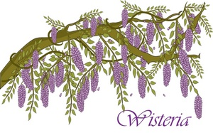 Wisteria clipart #5, Download drawings