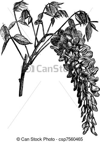 Wisteria clipart #8, Download drawings