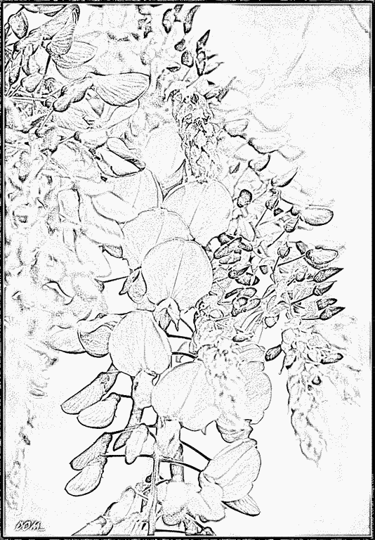 Wisteria coloring #2, Download drawings