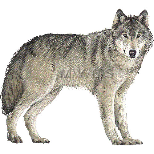 White Wolf clipart #10, Download drawings
