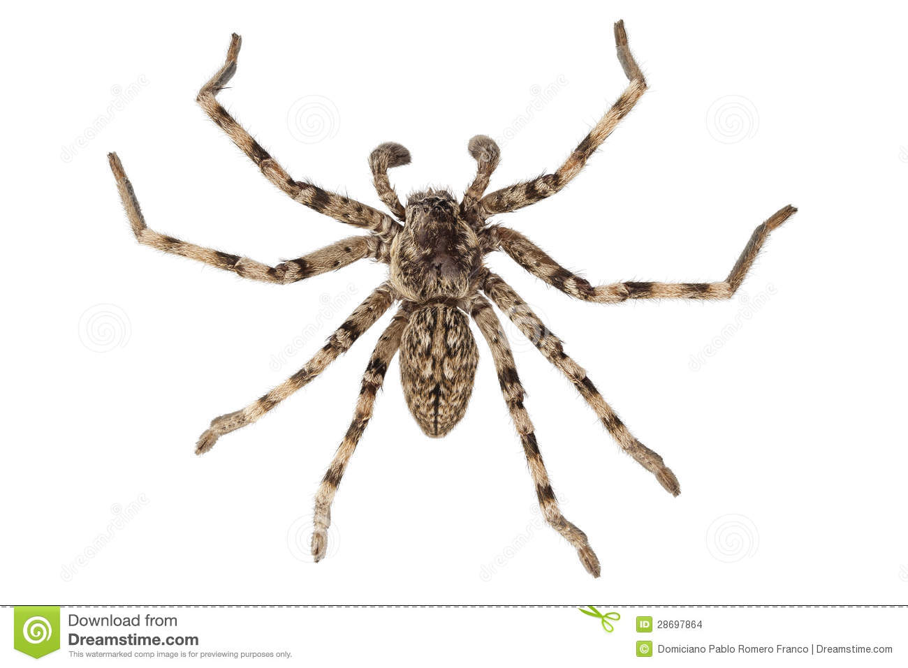 Wolf Spider clipart #8, Download drawings