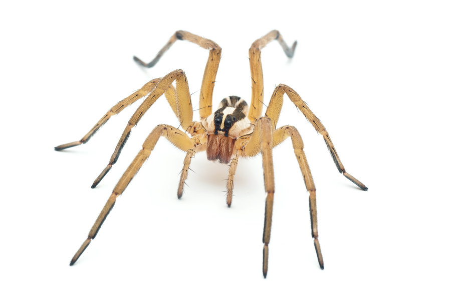Wolf Spider clipart #12, Download drawings