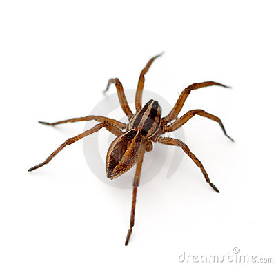Wolf Spider clipart #11, Download drawings