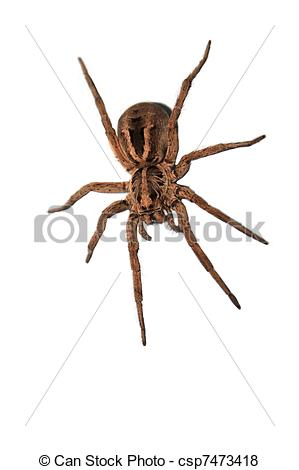 Wolf Spider clipart #14, Download drawings