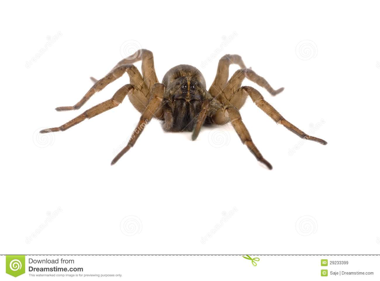 Wolf Spider clipart #3, Download drawings