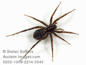 Wolf Spider clipart #13, Download drawings