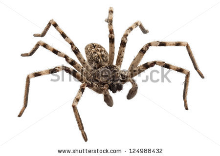 Wolf Spider clipart #5, Download drawings