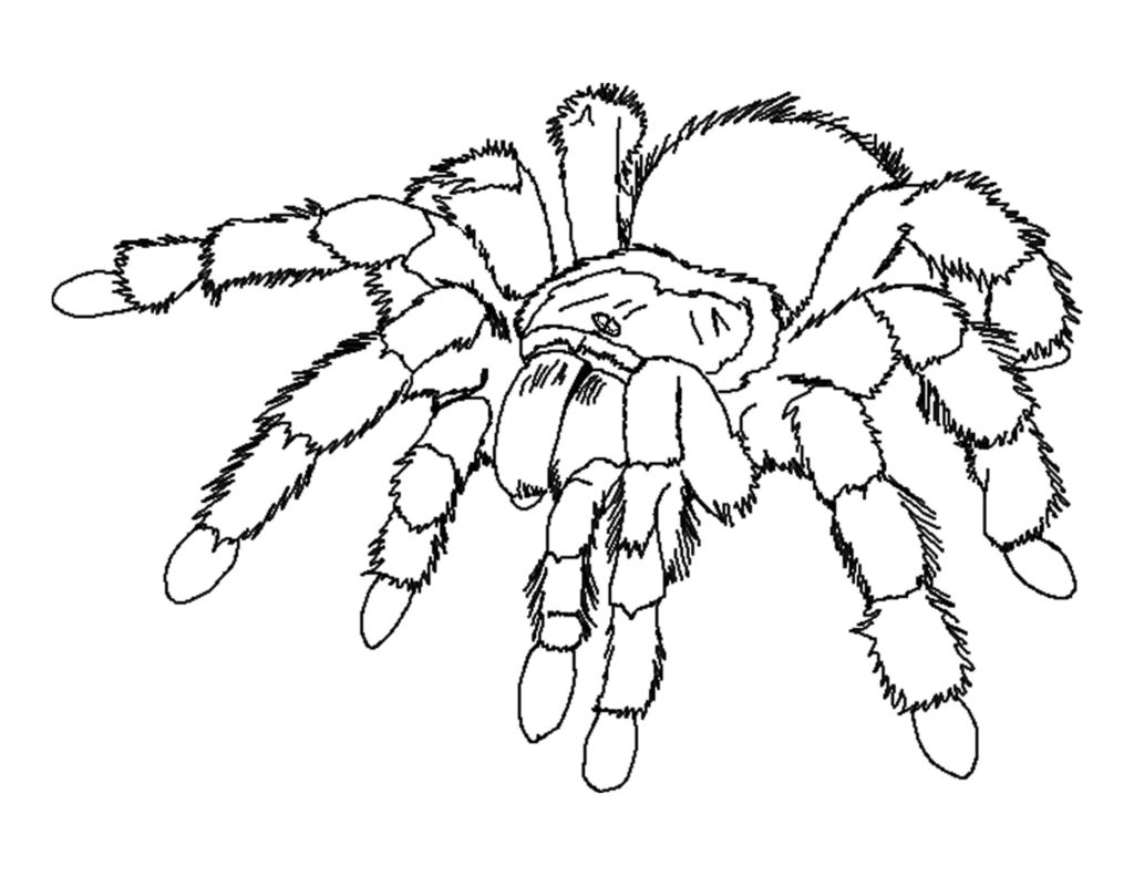 Wolf Spider coloring #5, Download drawings