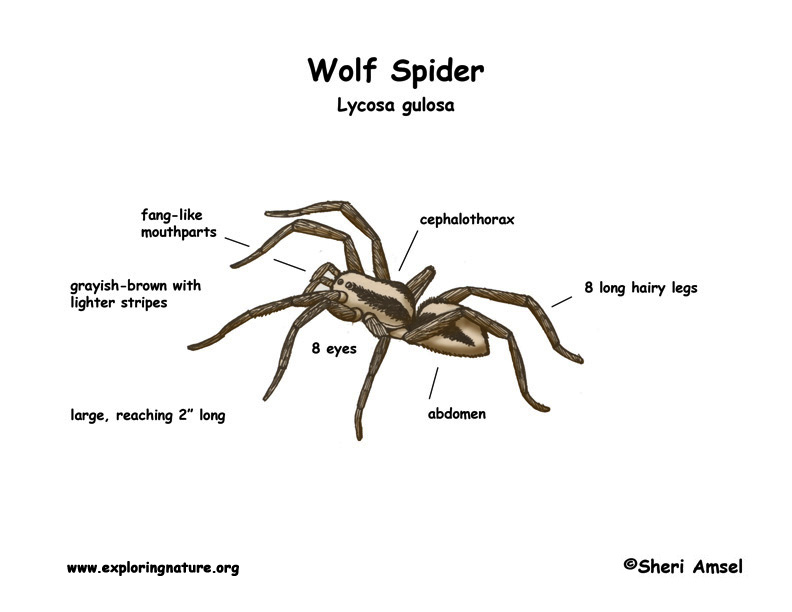 Wolf Spider coloring #12, Download drawings
