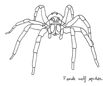 Wolf Spider coloring #3, Download drawings