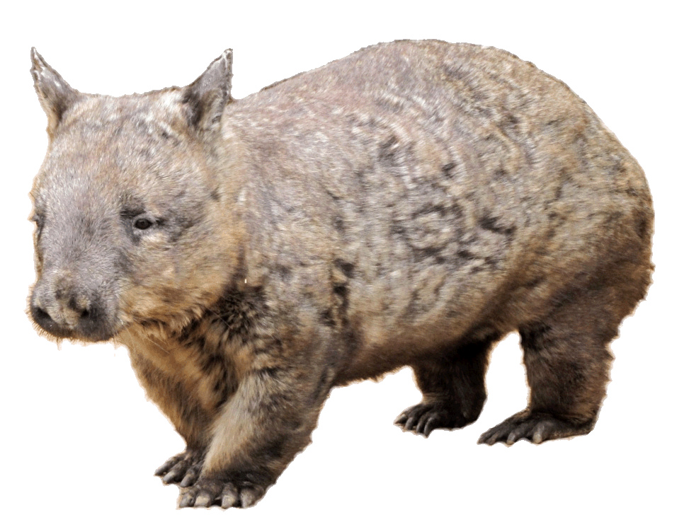 Wombat clipart #13, Download drawings