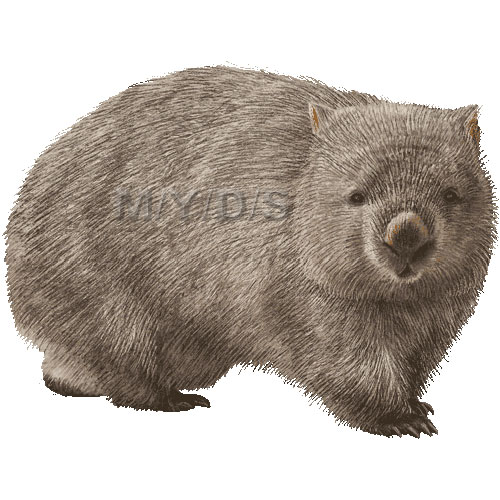Wombat clipart #4, Download drawings