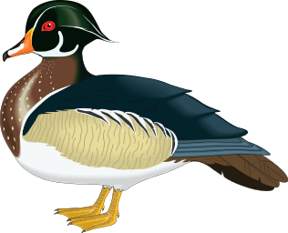 Wood Duck clipart #1, Download drawings
