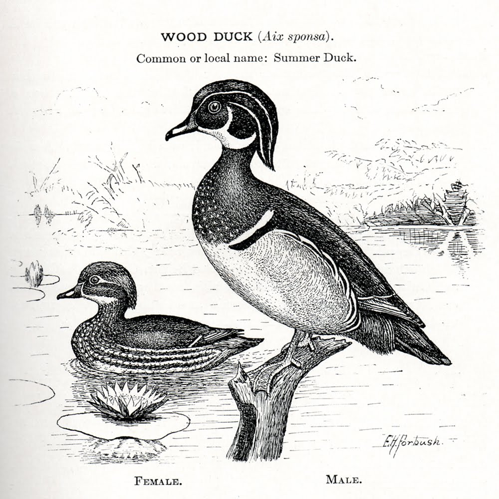 Wood Duck clipart #12, Download drawings