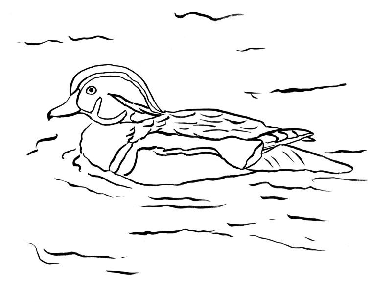 Wood Duck coloring #13, Download drawings