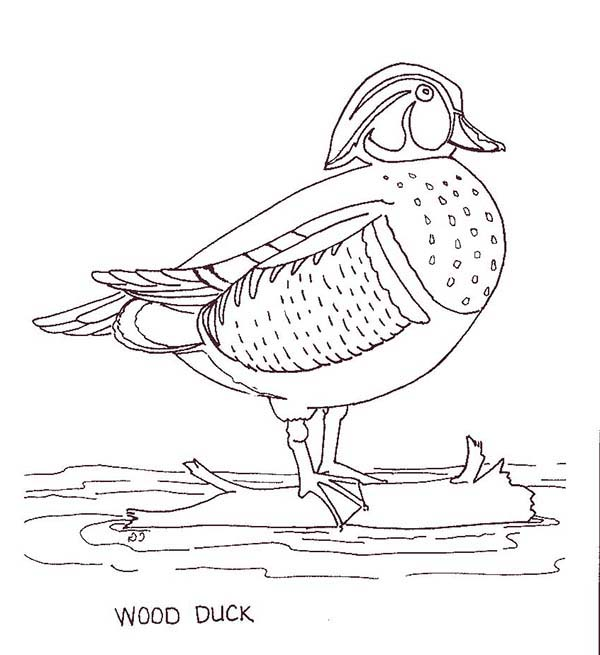 Wood Duck coloring #4, Download drawings