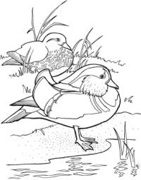 Wood Duck coloring #2, Download drawings