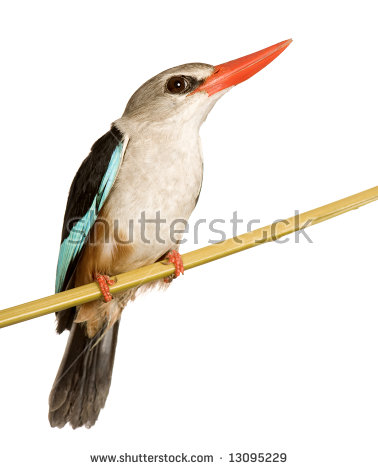 Woodland Kingfisher clipart #10, Download drawings
