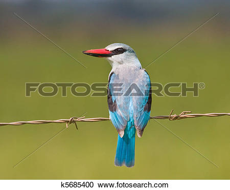 Woodland Kingfisher clipart #3, Download drawings