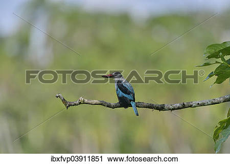 Woodland Kingfisher clipart #1, Download drawings