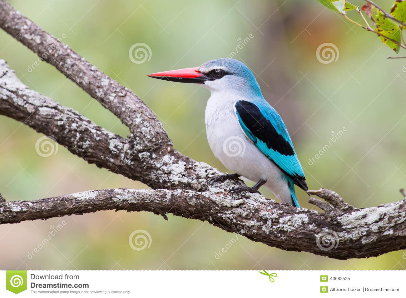 Woodland Kingfisher clipart #7, Download drawings