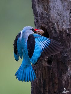 Woodland Kingfisher coloring #7, Download drawings