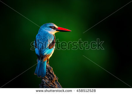 Woodland Kingfisher coloring #14, Download drawings