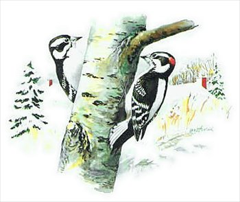Woodpecker clipart #3, Download drawings