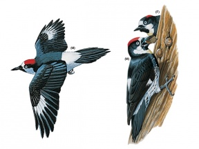 Woodpecker clipart #4, Download drawings