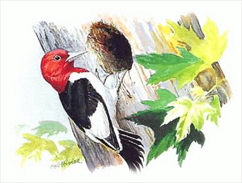 Woodpecker clipart #6, Download drawings