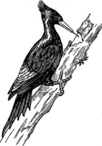 Woodpecker clipart #2, Download drawings