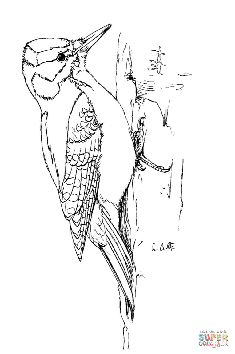 Woodpecker coloring #2, Download drawings