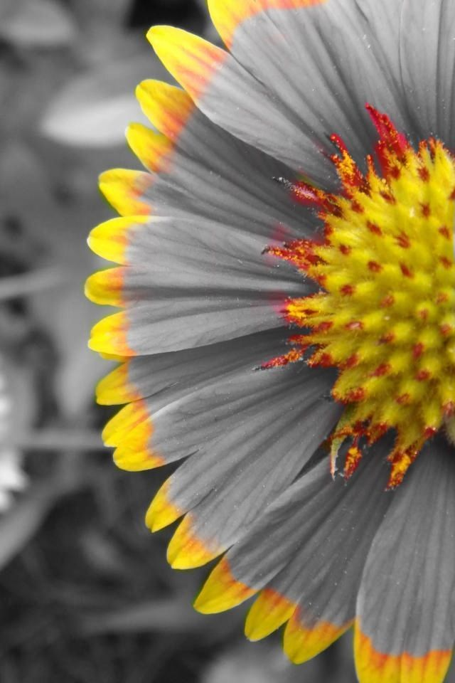 Yellow Flower coloring #9, Download drawings
