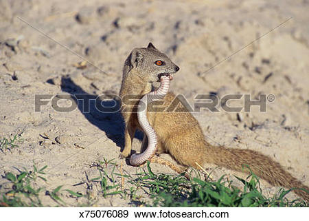Yellow Mongoose clipart #5, Download drawings