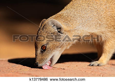Yellow Mongoose clipart #14, Download drawings