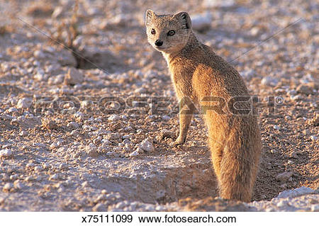 Yellow Mongoose clipart #17, Download drawings