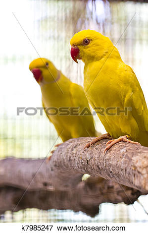 Yellow Ring Neck Parrot clipart #11, Download drawings