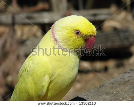 Yellow Ring Neck Parrot clipart #4, Download drawings