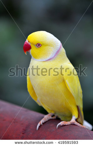 Yellow Ring Neck Parrot clipart #18, Download drawings
