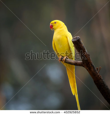 Yellow Ring Neck Parrot clipart #16, Download drawings