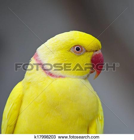 Yellow Ring Neck Parrot clipart #14, Download drawings